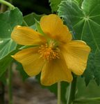 Abutilon grandiflorum