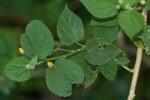 Abutilon ramosum