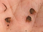 Malvastrum coromandelianum