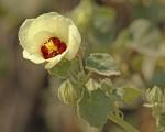 Pavonia senegalensis