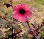 Hibiscus acetosella