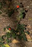 Hibiscus allenii