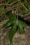 Hibiscus altissimus