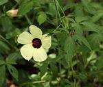 Hibiscus caesius