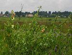 Hibiscus panduriformis