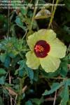 Hibiscus surattensis