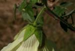 Hibiscus vitifolius subsp. vitifolius