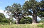 Adansonia digitata