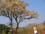 Dombeya rotundifolia