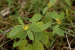 Waltheria indica