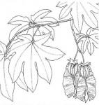 Triplochiton zambesiacus