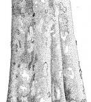 Sterculia africana