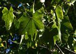 Sterculia appendiculata