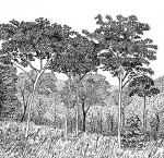 Sterculia quinqueloba