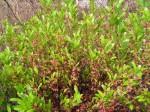 Ochna arenaria