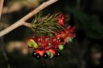 Ochna natalitia