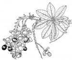 Ochna pulchra subsp. pulchra