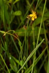 Hypericum lalandii