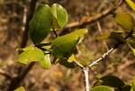 Psorospermum febrifugum