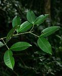 Garcinia kingaensis