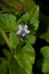 Viola abyssinica