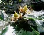 Rawsonia lucida