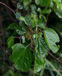 Trimeria grandifolia subsp. grandifolia