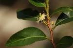Aphloia theiformis
