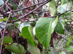 Adenia lobata subsp. rumicifolia