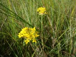 Gnidia chrysantha