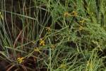 Gnidia microcephala