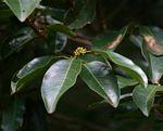 Cassipourea gummiflua var. verticillata