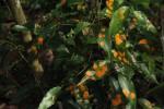 Cassipourea malosana
