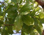 Combretum adenogonium