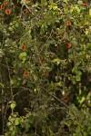 Combretum hereroense subsp. hereroense