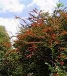 Combretum microphyllum