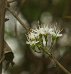 Combretum mossambicense