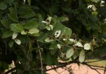 Combretum obovatum