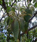 Terminalia gazensis