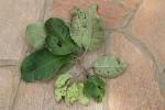 Terminalia mollis