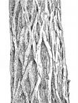 Terminalia sericea