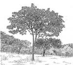 Terminalia stenostachya