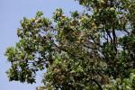 Syzygium cordatum