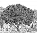 Syzygium guineense subsp. afromontanum