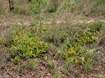 Syzygium guineense subsp. huillense