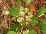 Syzygium guineense subsp. macrocarpum