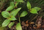 Tristemma mauritianum var. mauritianum
