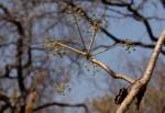 Steganotaenia araliacea var. araliacea