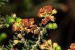 Erica benguelensis var. benguelensis