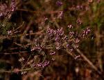 Erica lanceolifera